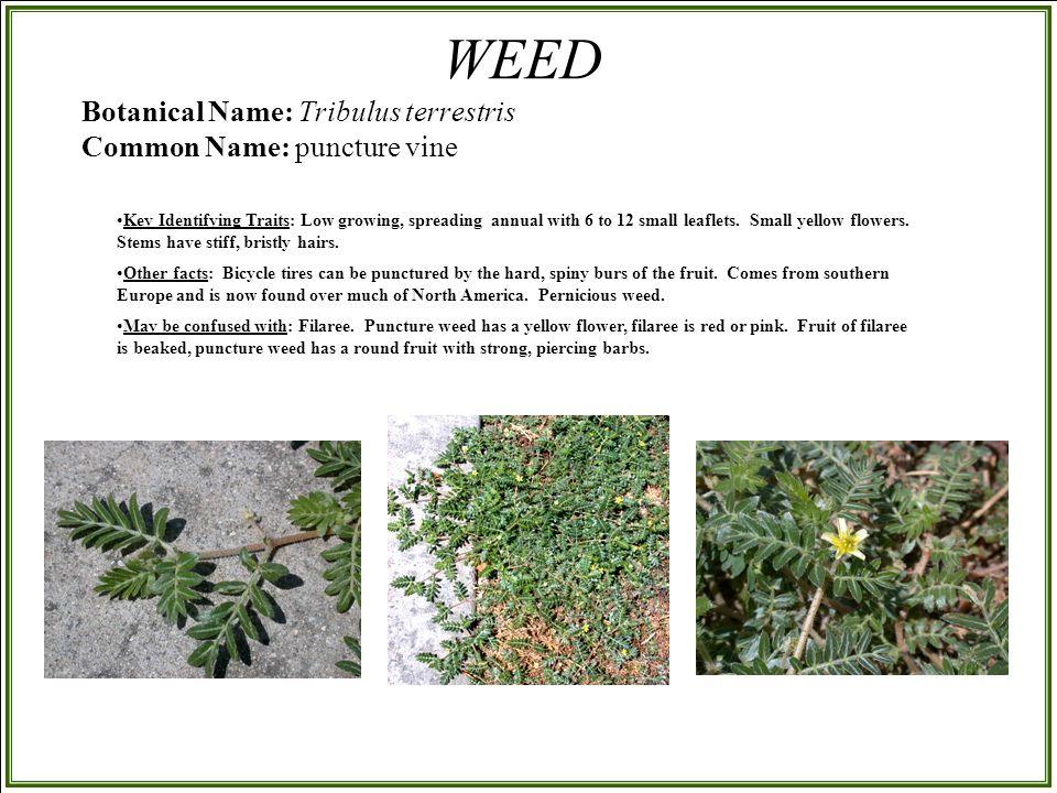 Botanical Name: Tribulus terrestris Common Name: puncture vine