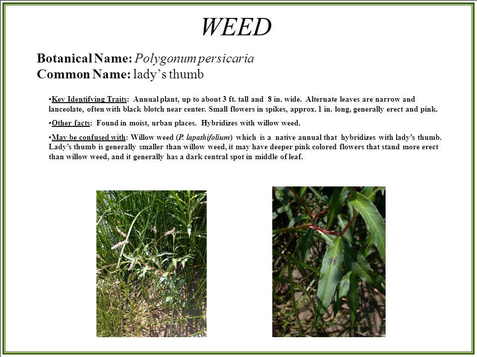 Botanical Name: Polygonum persicaria Common Name: lady's thumb