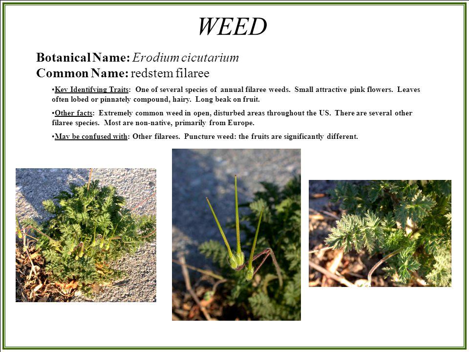 Botanical Name: Erodium cicutarium Common Name: redstem filaree