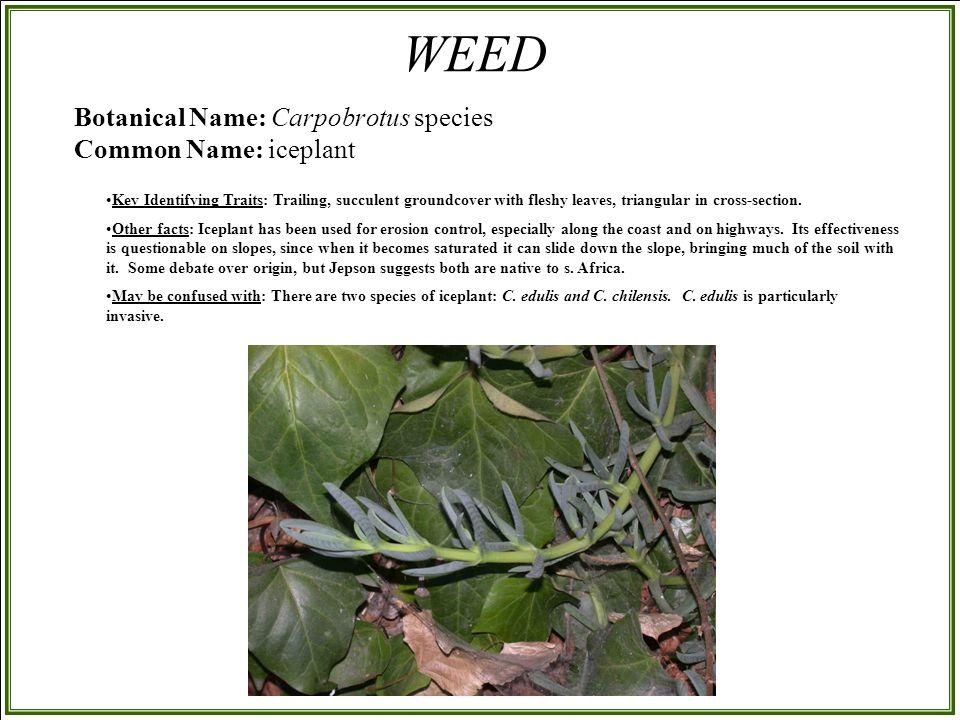 Botanical Name: Carpobrotus species Common Name: iceplant