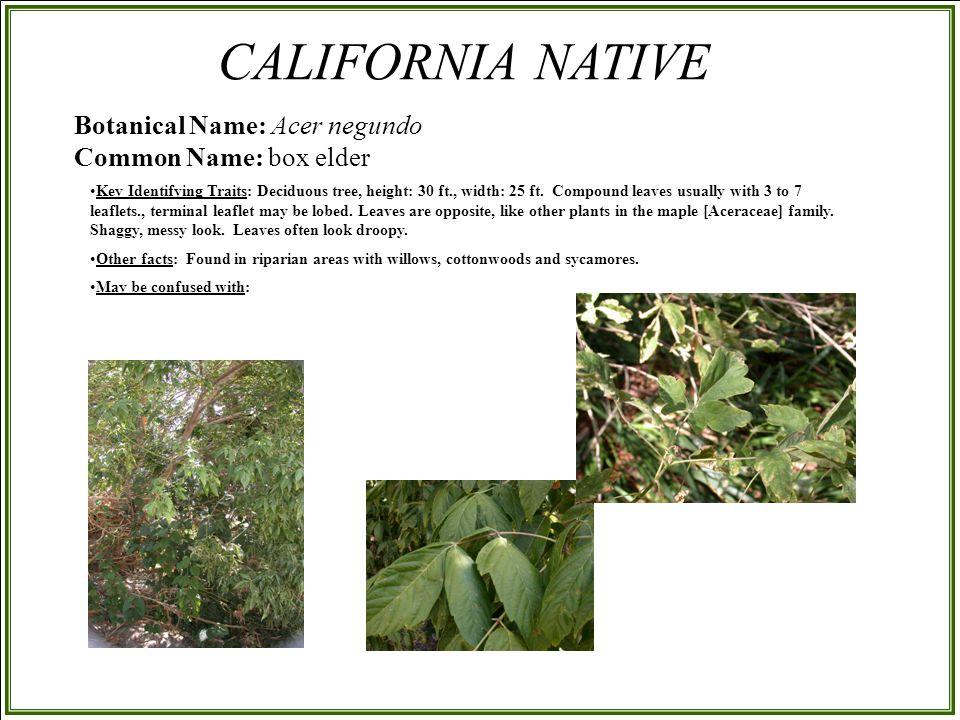 Botanical Name: Acer negundo Common Name: box elder