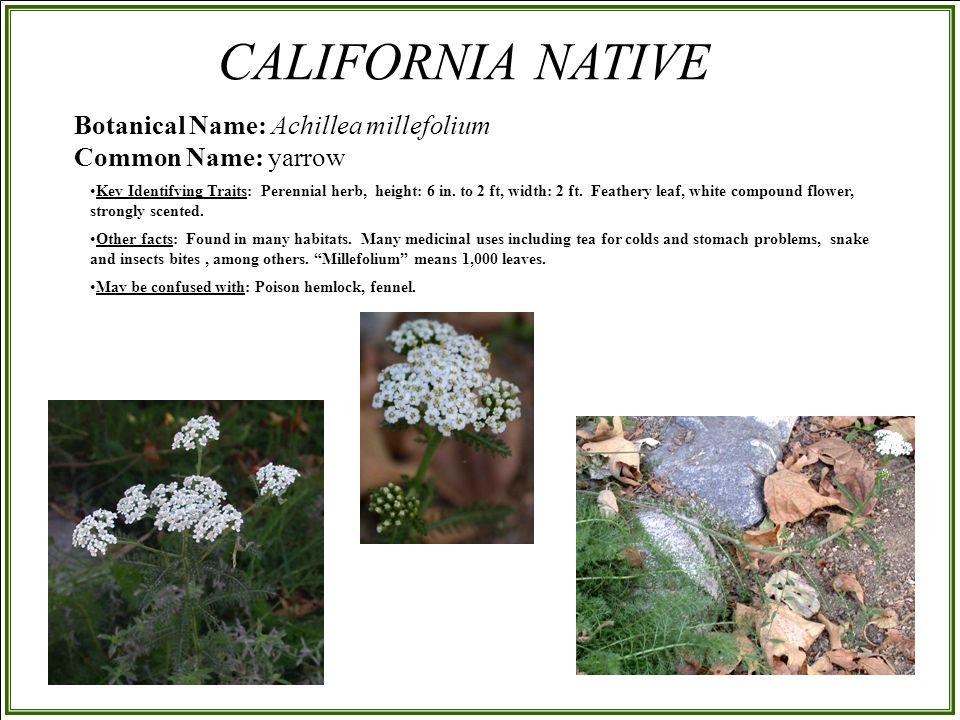 Botanical Name: Achillea millefolium Common Name: yarrow