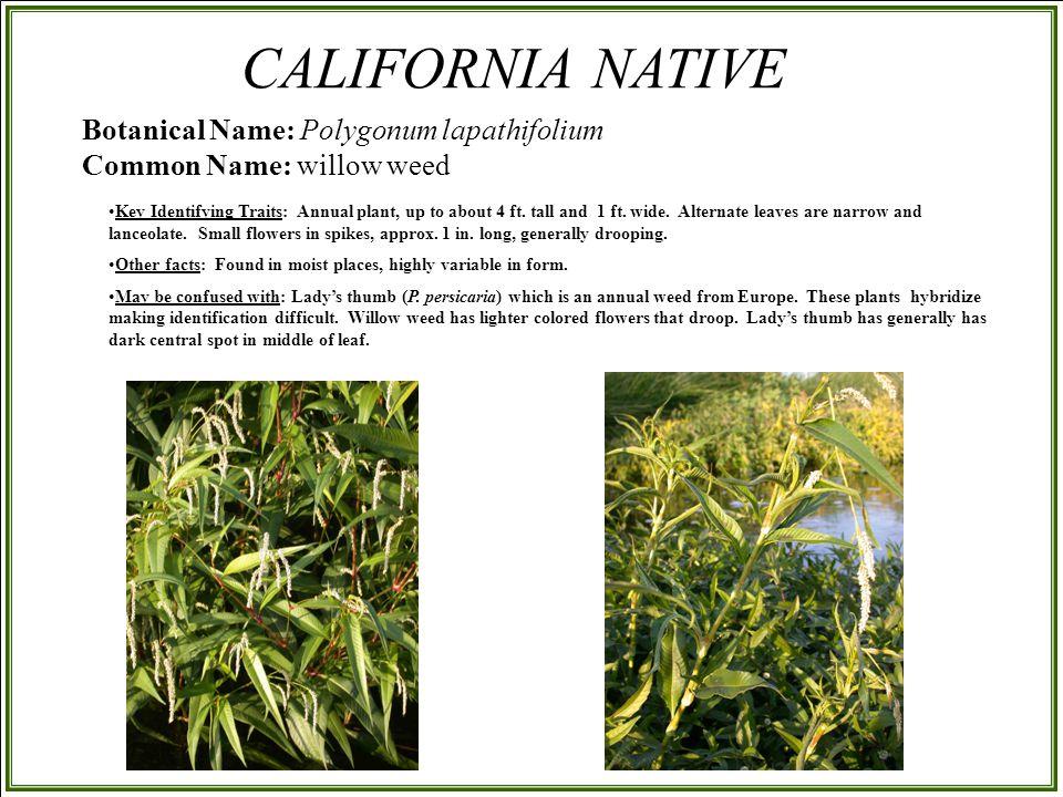 Botanical Name: Polygonum lapathifolium Common Name: willow weed