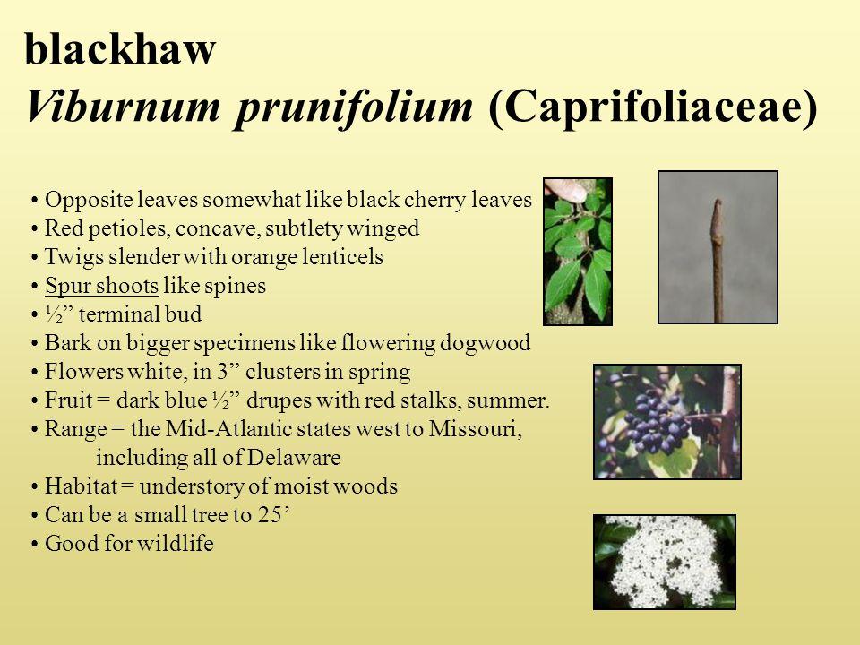 blackhaw Viburnum prunifolium (Caprifoliaceae)