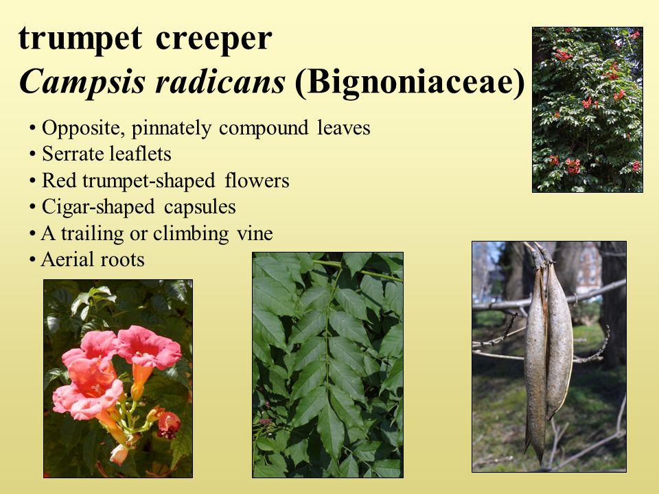 trumpet creeper Campsis radicans (Bignoniaceae)