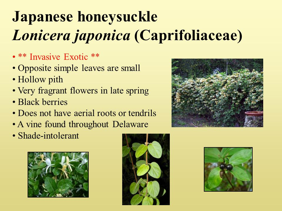 Japanese honeysuckle Lonicera japonica (Caprifoliaceae)