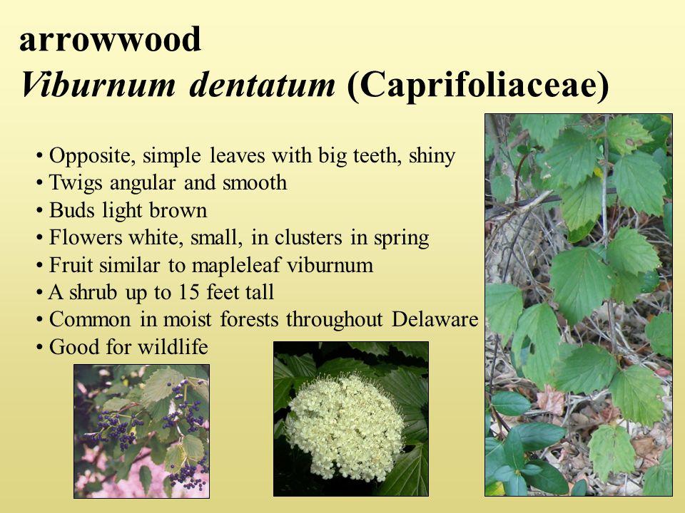 arrowwood Viburnum dentatum (Caprifoliaceae)