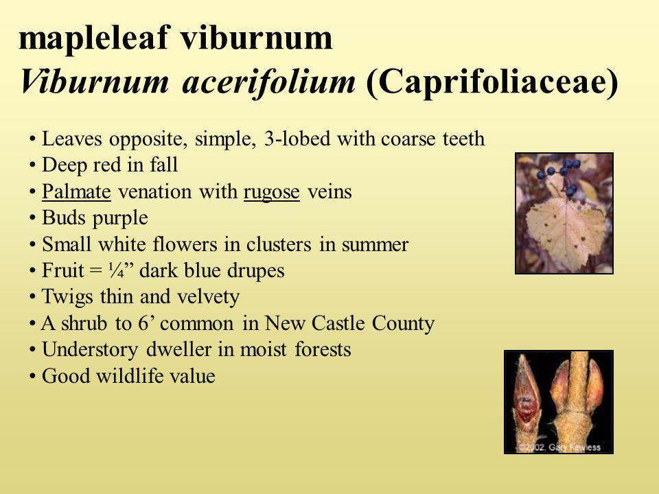 mapleleaf viburnum Viburnum acerifolium (Caprifoliaceae)