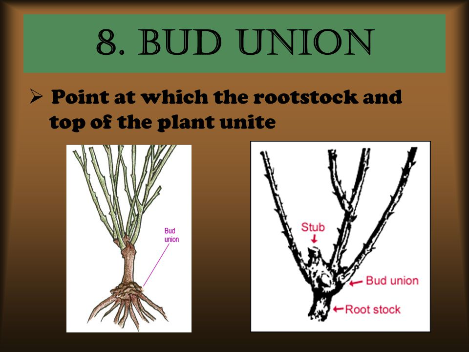 8. Bud Union Point at which the rootstock and top of the plant unite