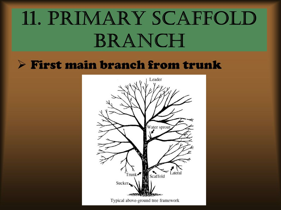 11. Primary Scaffold Branch