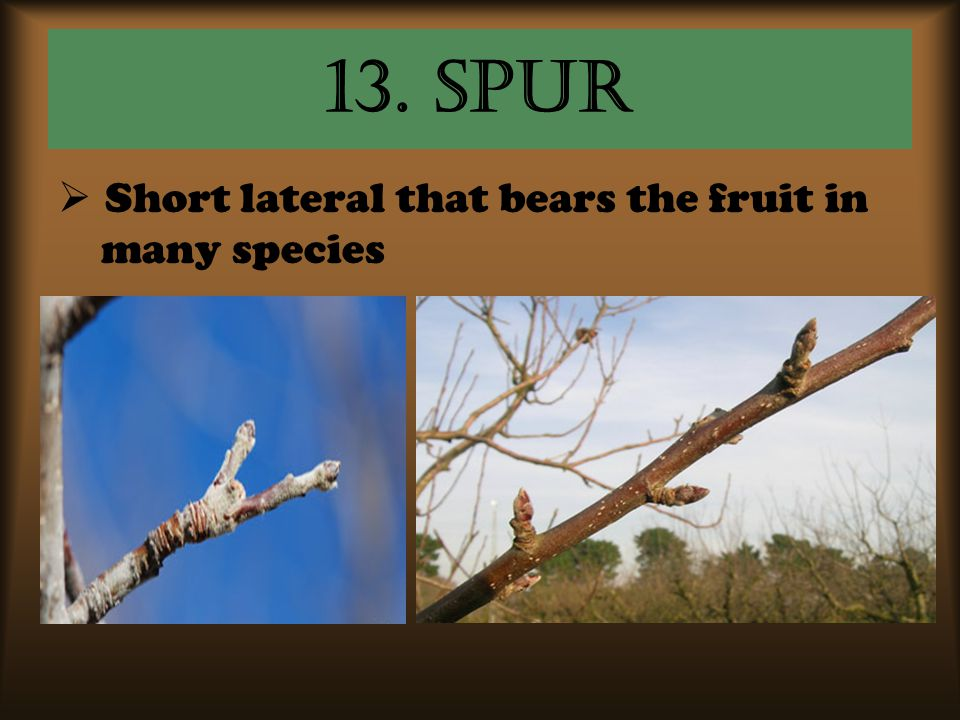 13. Spur Short lateral that bears the fruit in many species