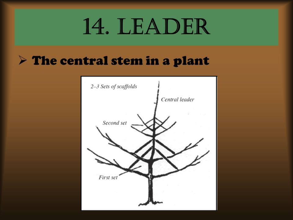 14. Leader The central stem in a plant