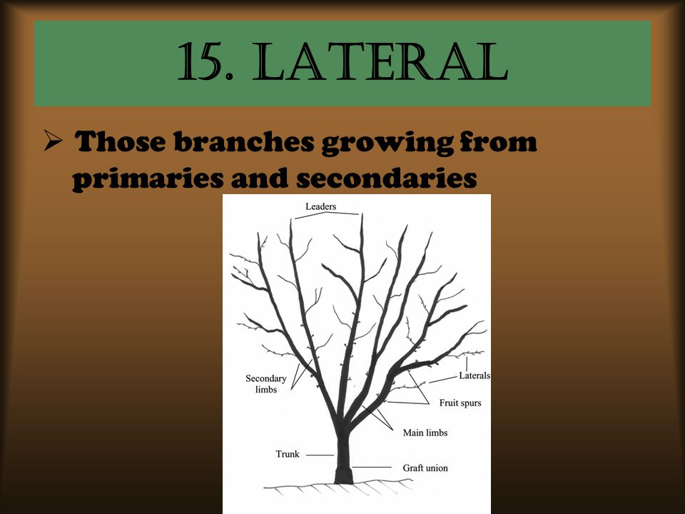 15. Lateral Those branches growing from primaries and secondaries