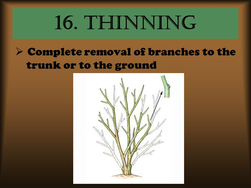 16. Thinning Complete removal of branches to the