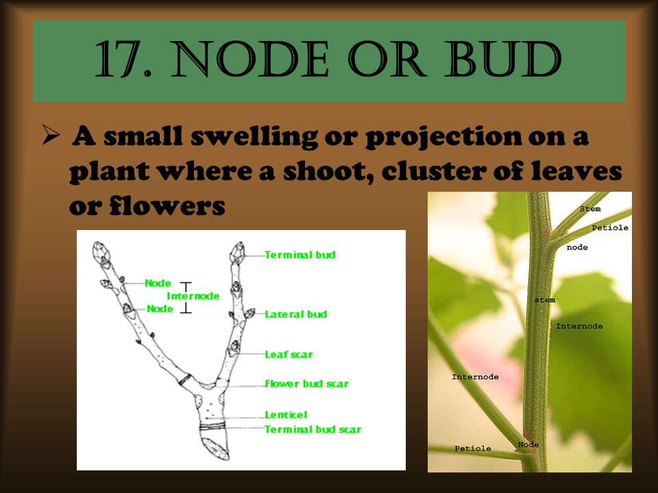 17. Node or bud A small swelling or projection on a