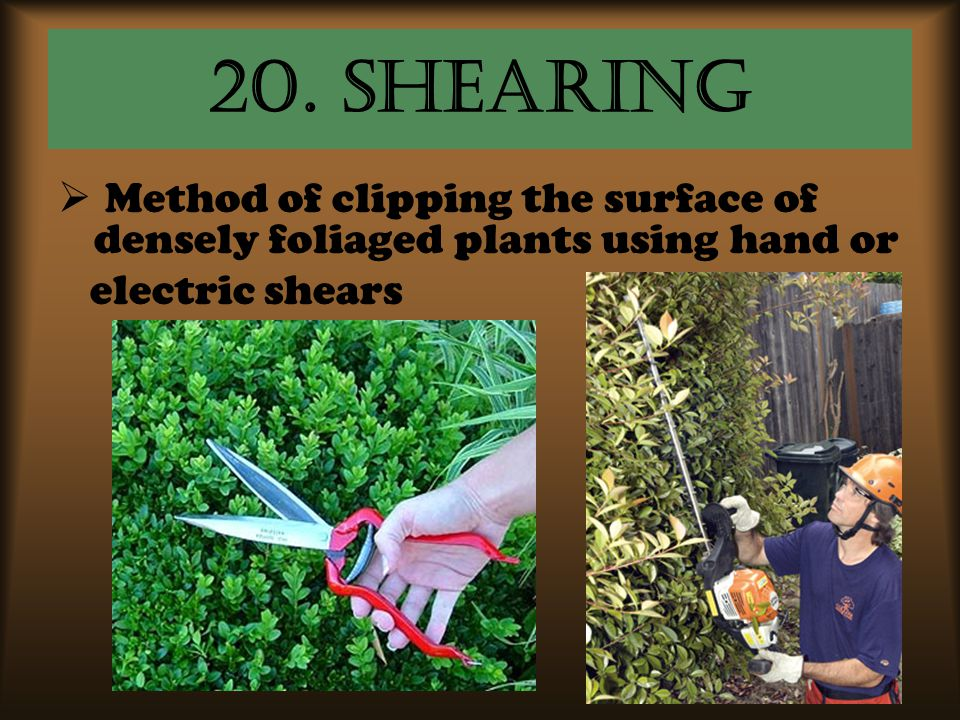 20. shearing Method of clipping the surface of densely foliaged plants using hand or.
