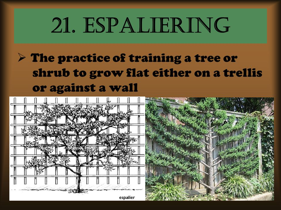 21. Espaliering The practice of training a tree or