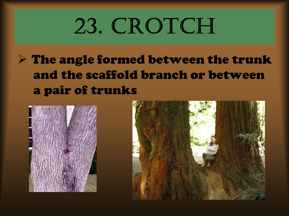 23. Crotch The angle formed between the trunk