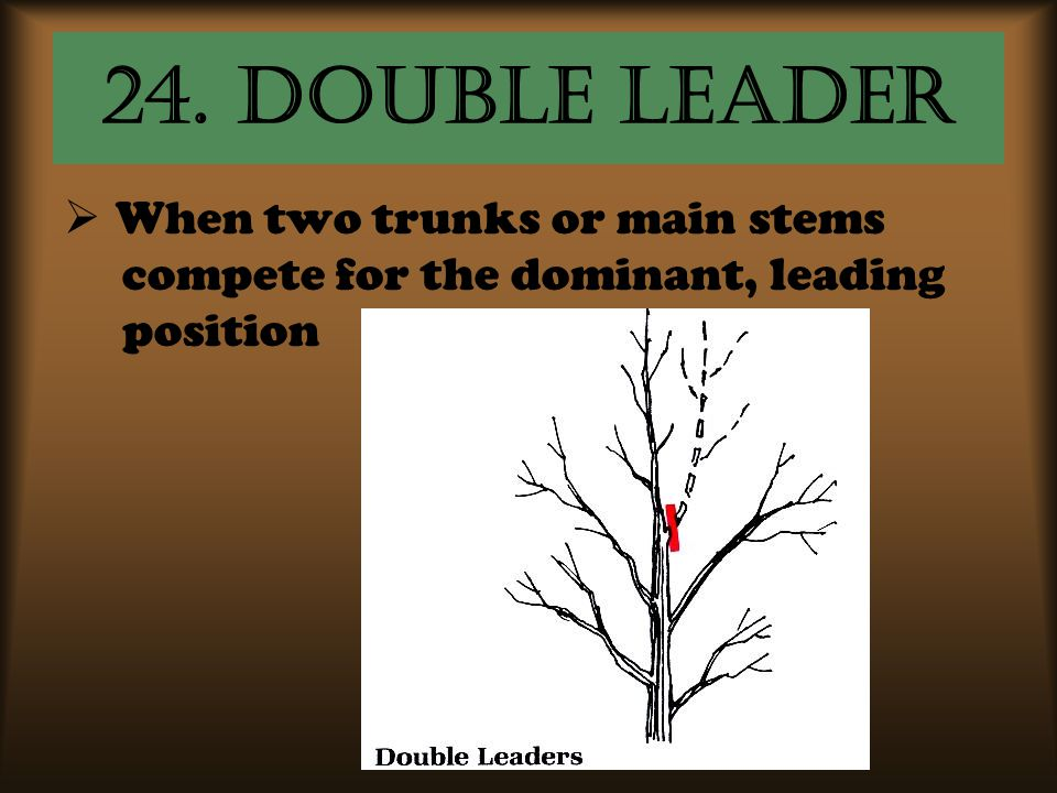 24. Double leader When two trunks or main stems