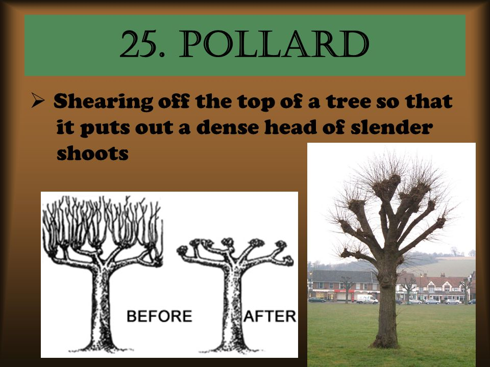 25. pollard Shearing off the top of a tree so that