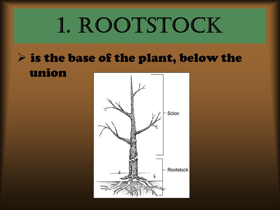 1. ROOTSTOCK is the base of the plant, below the union