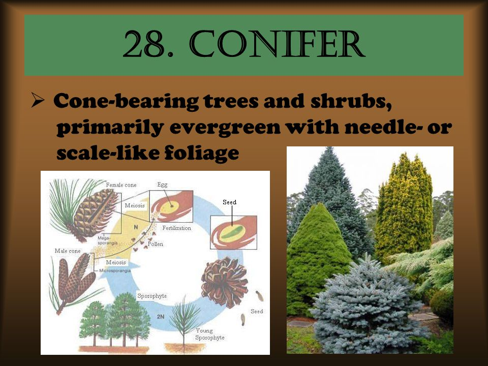 28. conifer Cone-bearing trees and shrubs,