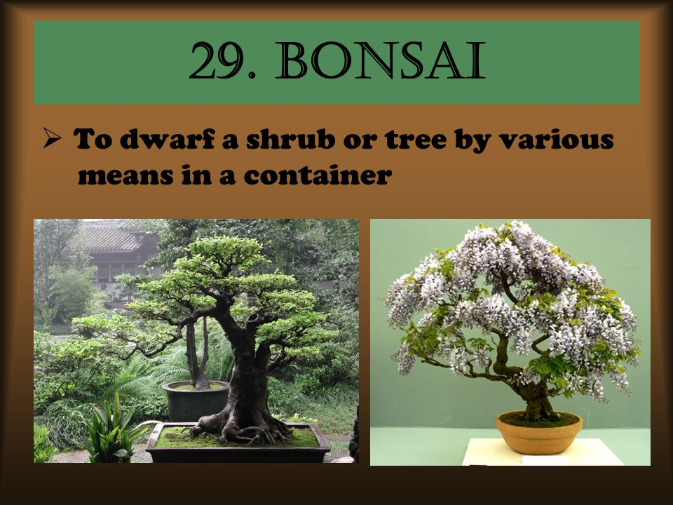 29. bonsai To dwarf a shrub or tree by various means in a container