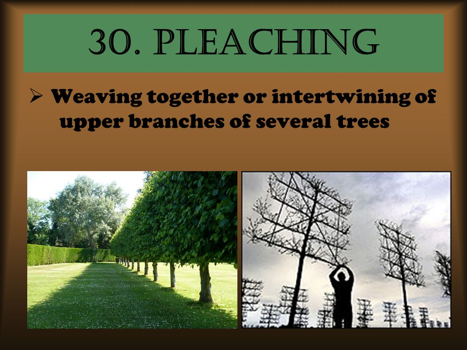 30. Pleaching Weaving together or intertwining of