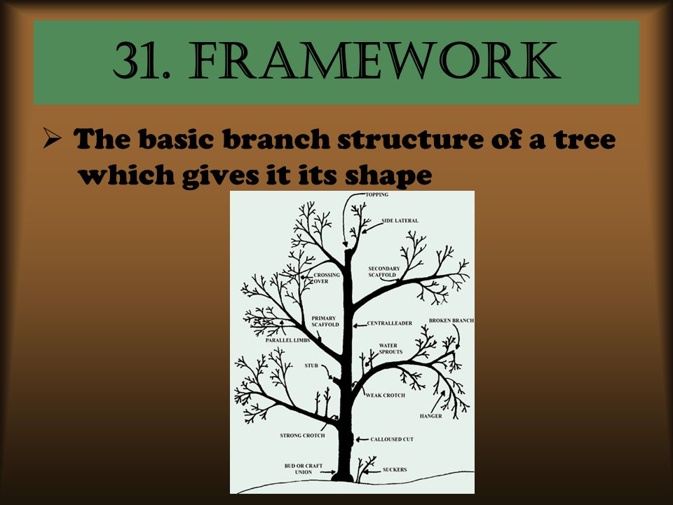 31. framework The basic branch structure of a tree