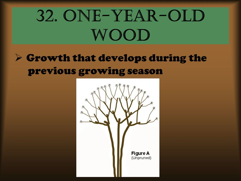 32. One-year-old wood Growth that develops during the