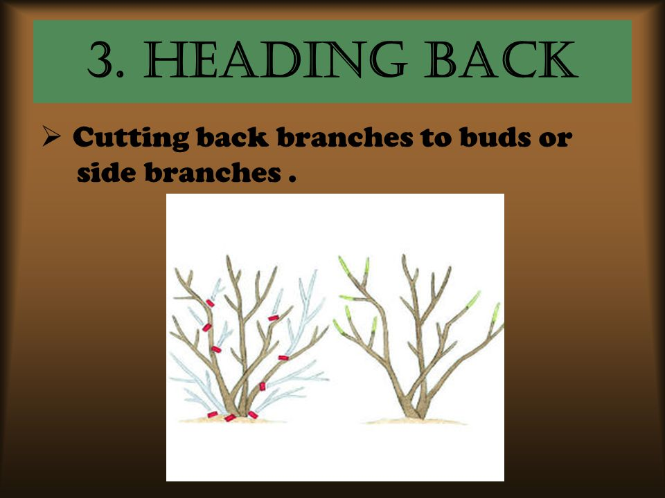 3. Heading Back Cutting back branches to buds or side branches .