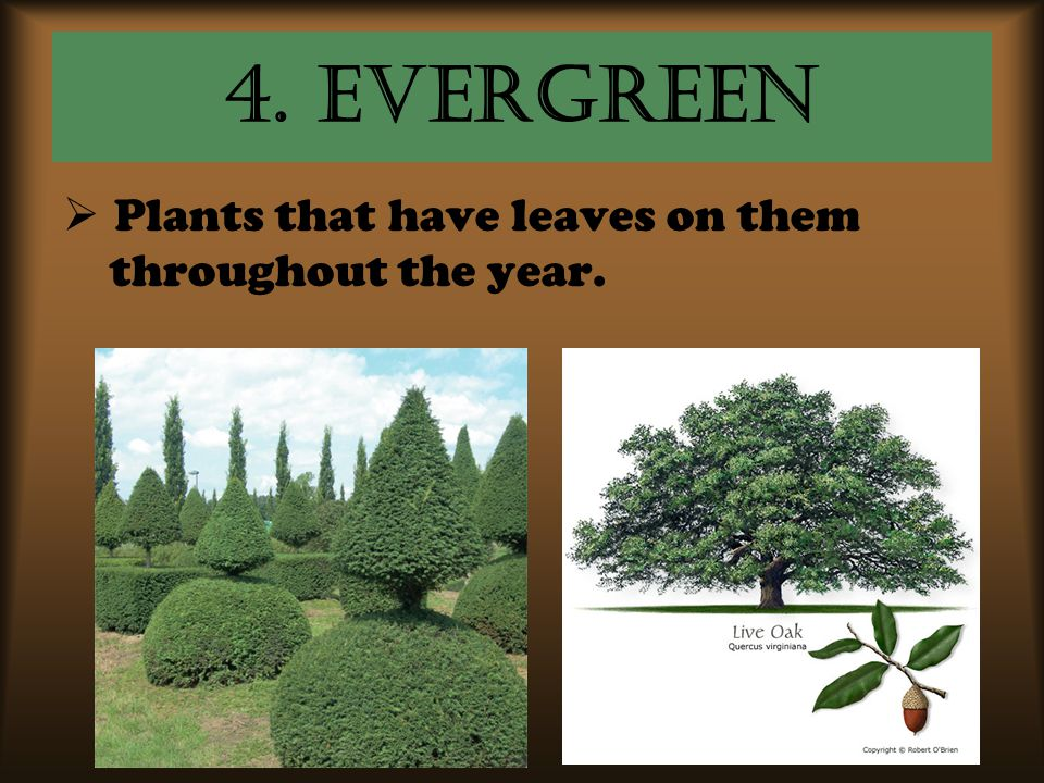 4. Evergreen Plants that have leaves on them throughout the year.