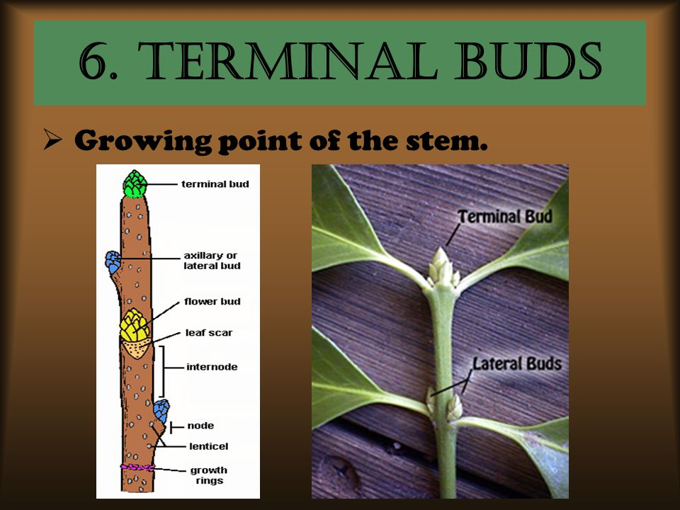 6. Terminal Buds Growing point of the stem.