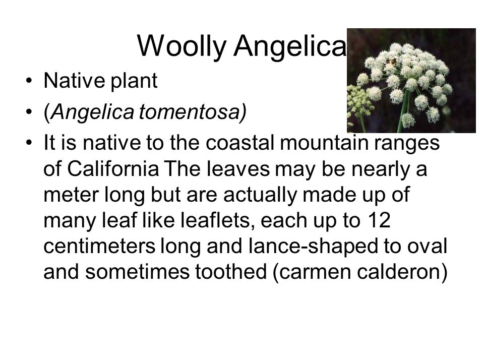 Woolly Angelica Native plant (Angelica tomentosa)