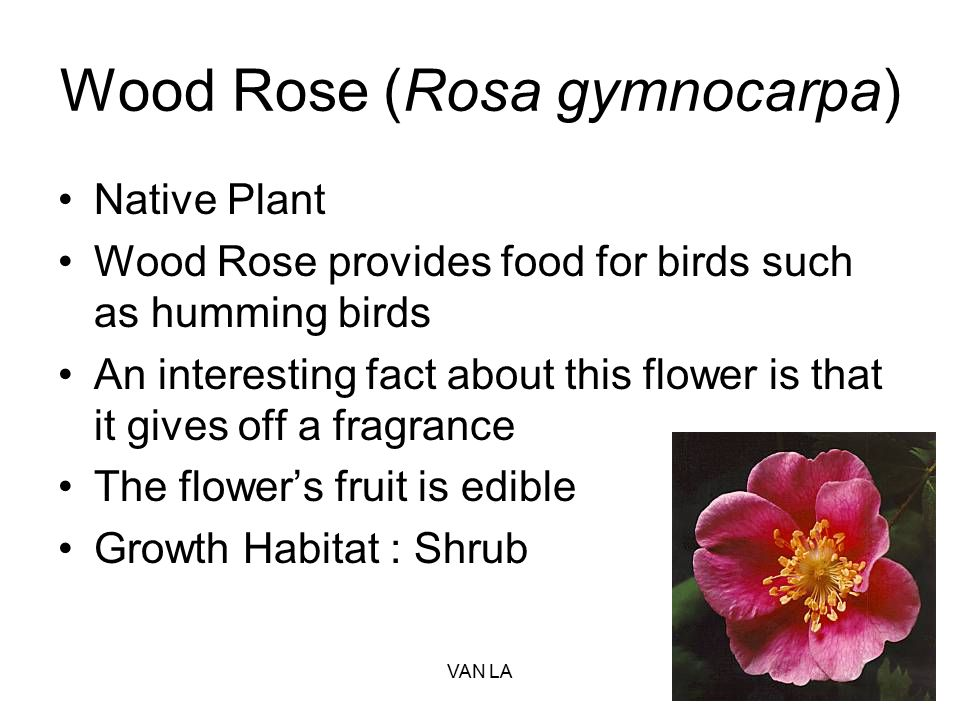 Wood Rose (Rosa gymnocarpa)