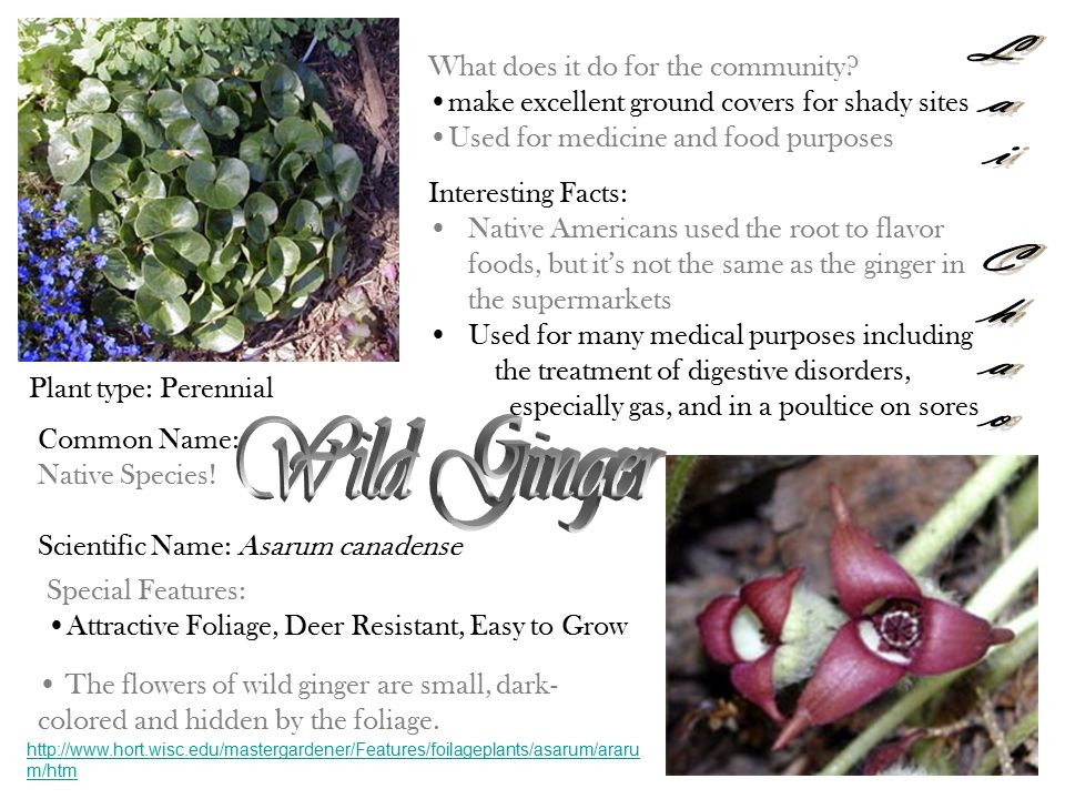 Lai Chao Lai Chao Wild Ginger What does it do for the community
