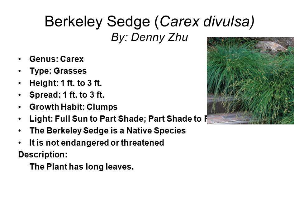 Berkeley Sedge (Carex divulsa) By: Denny Zhu