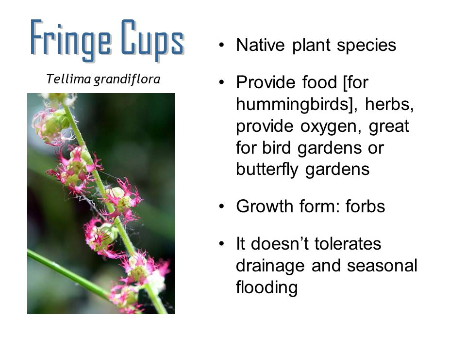 Fringe Cups Native plant species