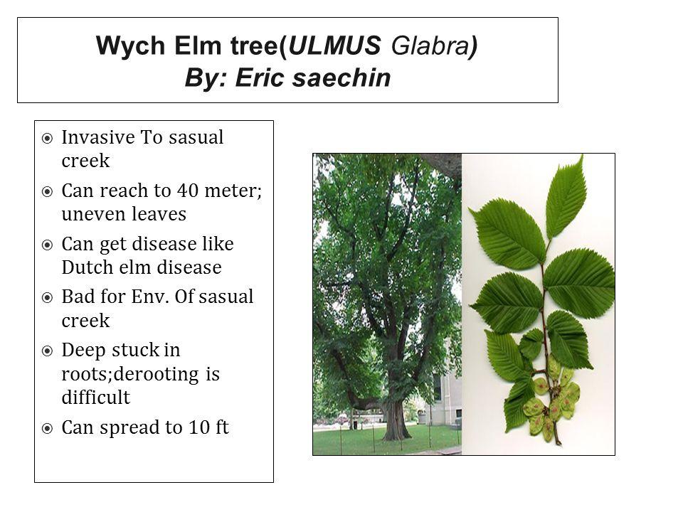 Wych Elm tree(ULMUS Glabra) By: Eric saechin