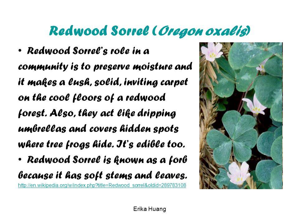 Redwood Sorrel (Oregon oxalis)