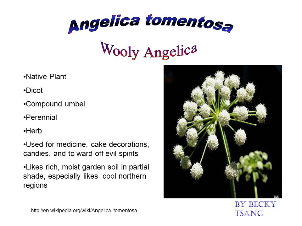 Angelica tomentosa Wooly Angelica Native Plant Dicot Compound umbel