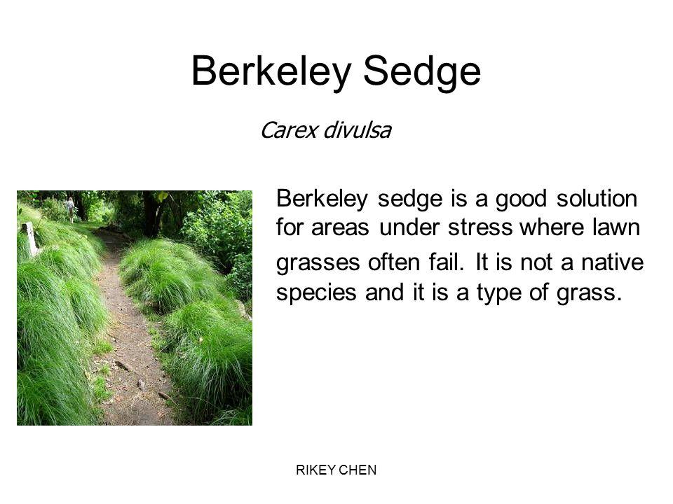 Berkeley Sedge Carex divulsa.