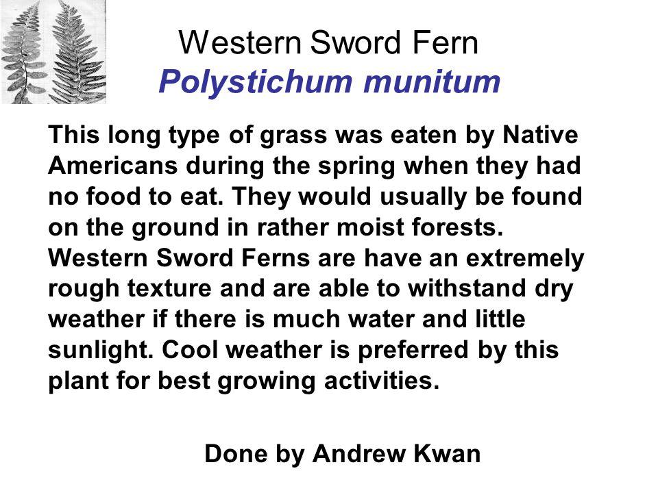 Western Sword Fern Polystichum munitum