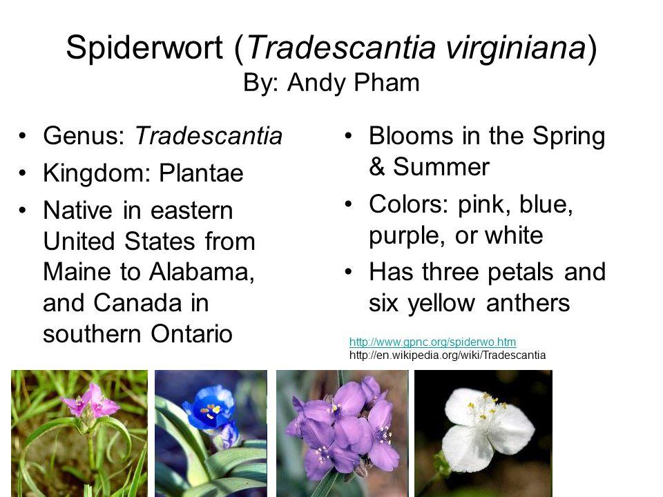 Spiderwort (Tradescantia virginiana) By: Andy Pham
