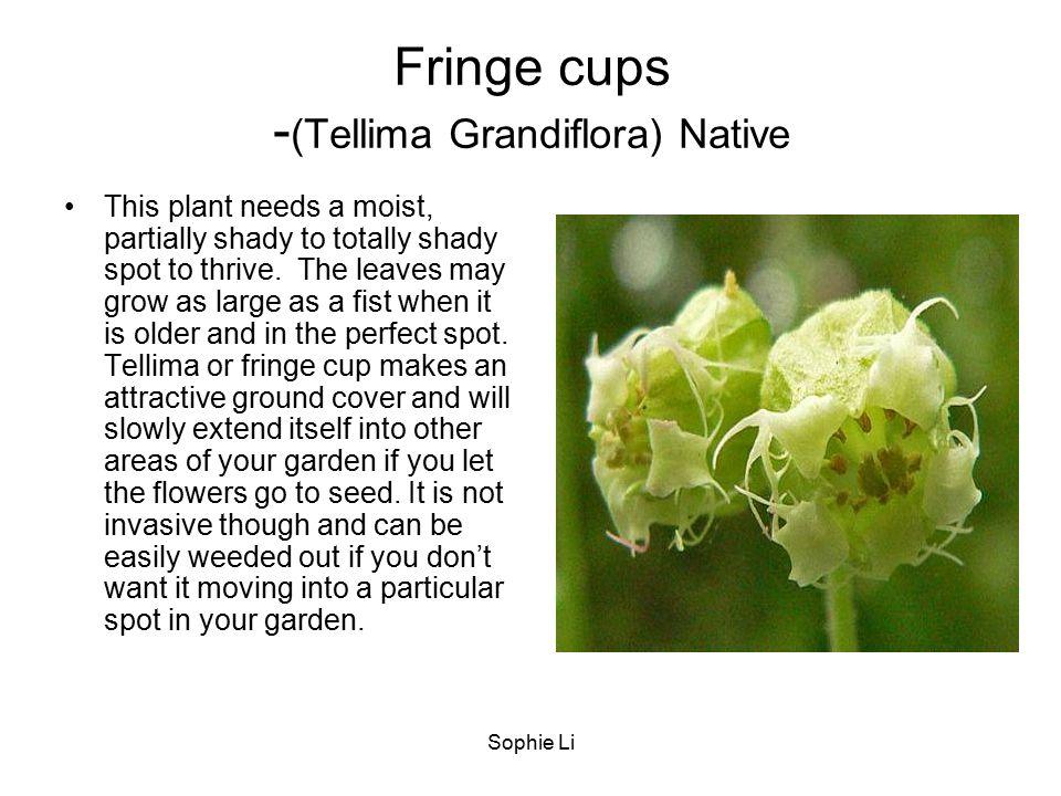Fringe cups -(Tellima Grandiflora) Native
