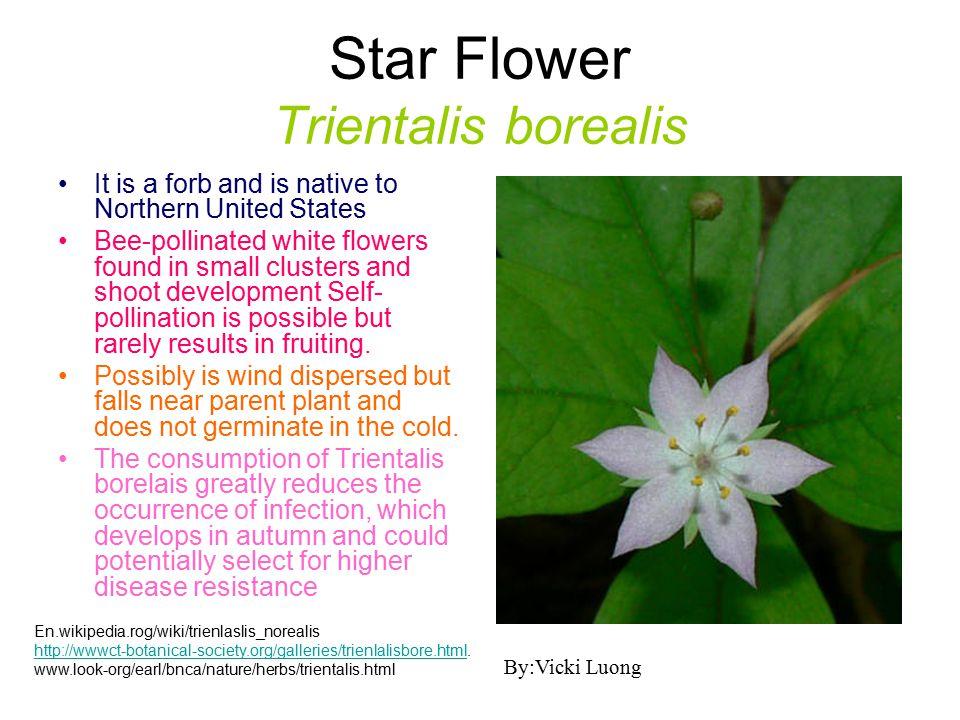 Star Flower Trientalis borealis
