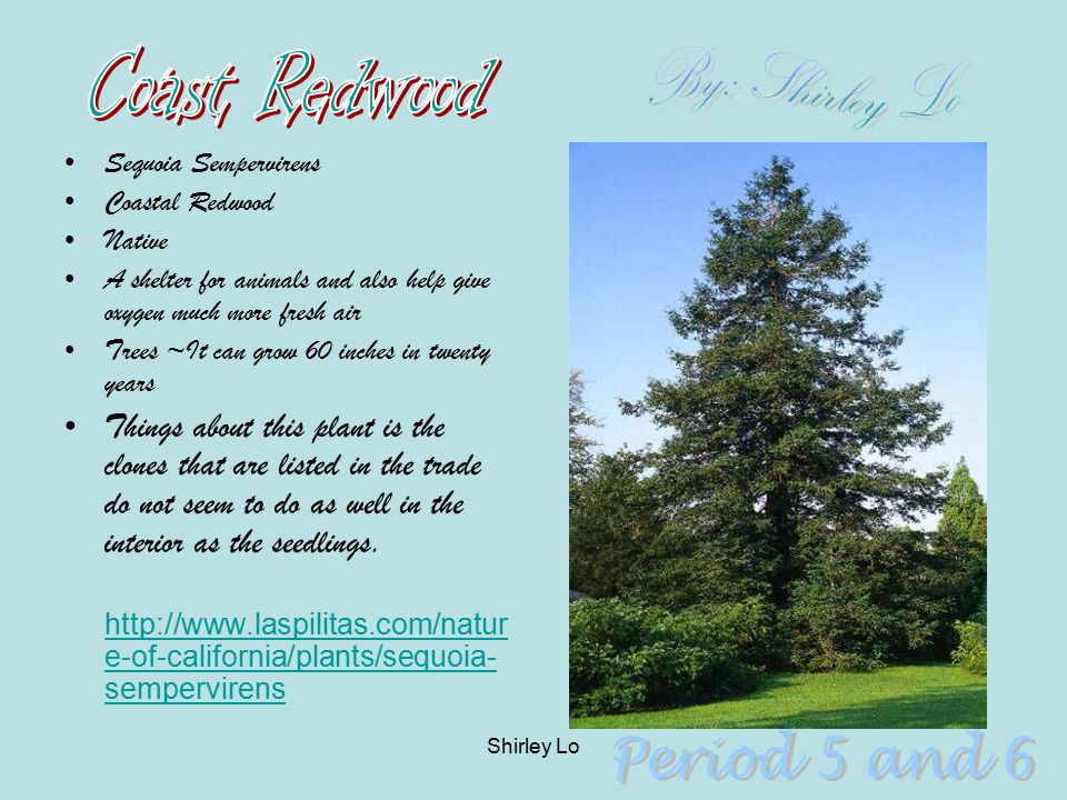Coast Redwood By: Shirley Lo Period 5 and 6
