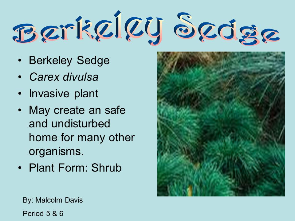 Berkeley Sedge Berkeley Sedge Carex divulsa Invasive plant