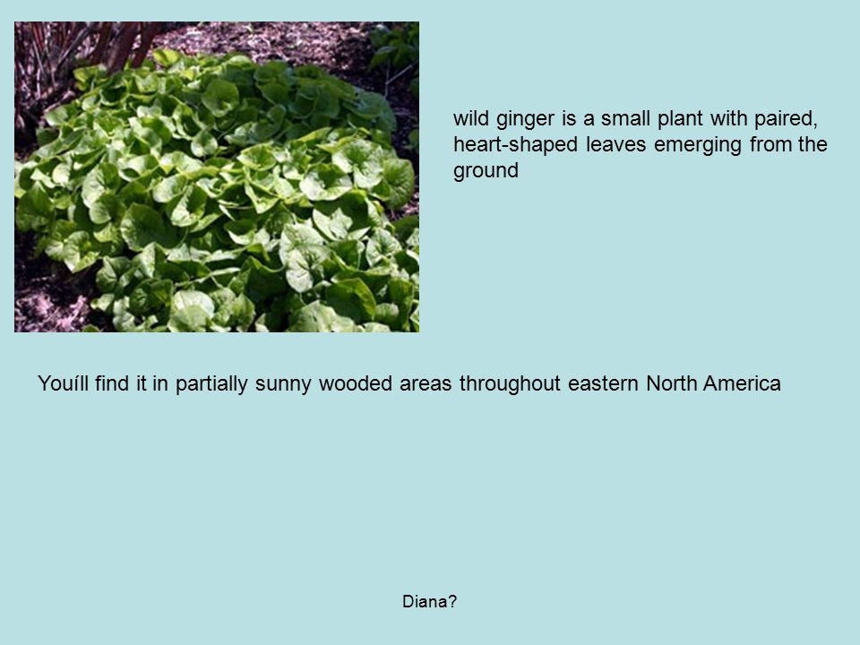 wild ginger is a small plant with paired,