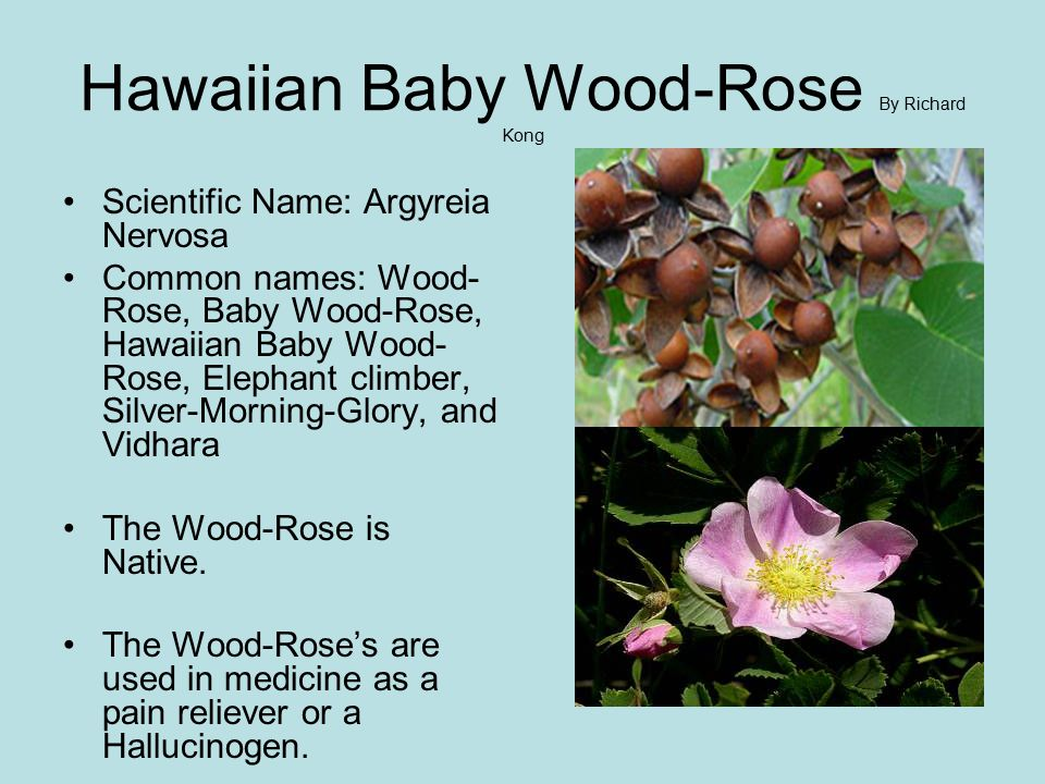Hawaiian Baby Wood-Rose By Richard Kong